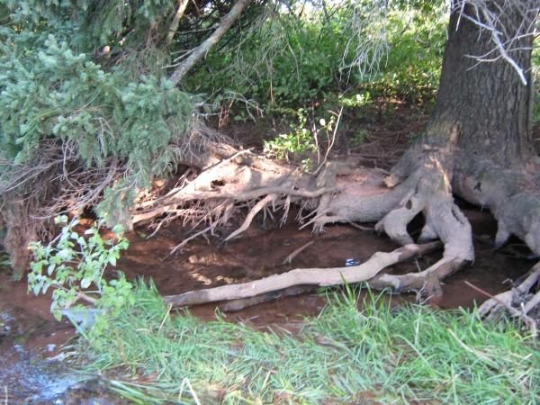 Large tree with roots stripped of soil due to stream movement caused by siltation on south side of river.