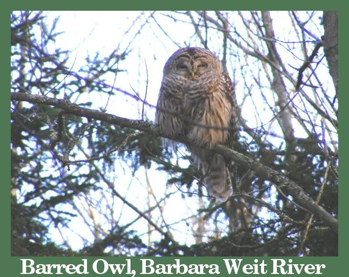 Barred Owl courtesy of Chris Wall